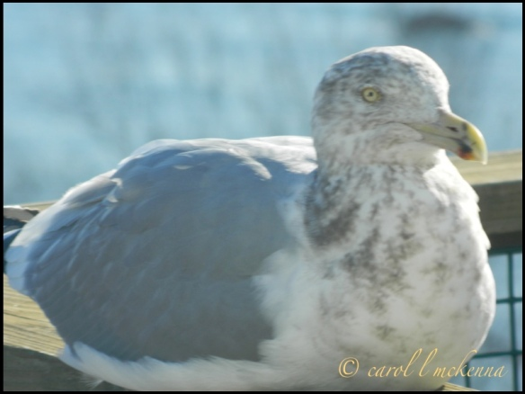 Keeping warm on my deck ~ he/she comes frequently and in the summer sits on the peak of the roof ~ Critters are so fascinating ~ Enjoy ~ carol, xxx